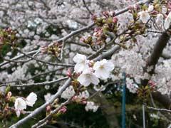 佐世保公園の桜