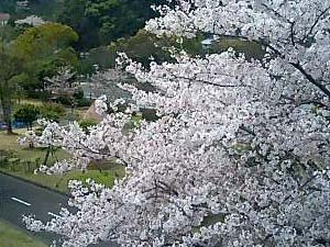 ジェニュイン近くから 交通公園の桜を望む
